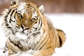 Picture winter, look, snow, tiger