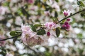 Picture flowers, Apple, spring