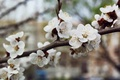 Picture tree, Flowers, white, spring