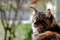 Picture cat, widescreen, widescreen, cat, background, widescreen, HD wallpapers, Maine Coon, Maine Coon, Wallpaper, full screen, ...