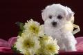 Picture white, cute, puppy, chrysanthemum, Bichon Frise