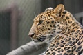 Picture face, leopard, profile, wild cat, Amur