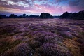 Picture Purple, Landscape, England, Wortham