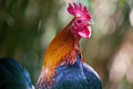 Picture background, bird, new year, portrait, symbol, bokeh, cock, symbol of the year, 2017, the year ...