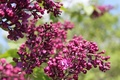 Picture flowers, branch, greens, lilac, spring, leaves