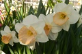 Picture flowers, widescreen, Wallpaper, spring, wallpaper, widescreen, background, daffodils, the Wallpapers, full screen, HD wallpapers, widescreen, ...