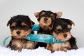 Picture puppies, tape, trio, Terriers