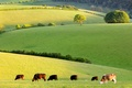 Picture cows, meadow, the herd