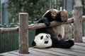 Picture bear, the game, Panda
