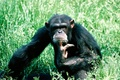 Picture Grass, Chimpanzees, Thinks