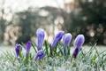 Picture crocuses, frost, petals, flowers