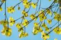 Picture flowers, branch, flower, Cornus kousa, yellow, Asian Blossoms-Dogwood, Kornus, Dogwood, tree, blue, plant, the sky, ...