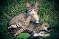 Picture greens, cat, grass, kitty, mother, family seals, family murchik