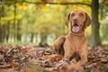 Picture bokeh, autumn, marking the Hungarian, dog, leaves