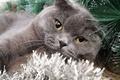 Picture cat, fold, Scottish fold, grey, cat