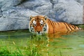 Picture tiger, water, stay, surprised, stone, grass