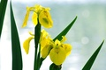 Picture flowers, the sky, yellow iris, Wallpaper, background