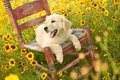 Picture FIELD, LANGUAGE, FLOWERS, CHAIR, GLADE, PUPPY, YELLOW