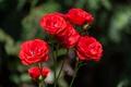 Picture Bokeh, Red rose, Red roses, Bokeh