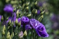 Picture flowers, petals, eustoma
