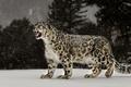 Picture leopard, Snow Leopard, snow