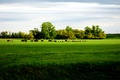 Picture the herd, the sky, field, grass, trees, horizon, cows