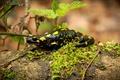 Picture macro, color, Salamander, log, black, rain, yellow spots, chickweed, moss, leaves, lizard, swamp