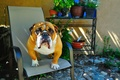Picture look, each, animal, dog, English bulldog, sitting on a chair