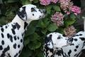 Picture Dalmatians, hydrangea, dogs