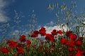 Picture Maki, field, meadow
