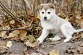 Picture Dog, puppy, autumn, leaves, Laika