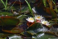 Picture water lilies, Nymphaeum, Lily, pond