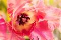 Picture Tulip, petals, macro