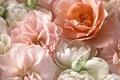 Picture tea rose, macro, petals, roses, pink