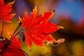 Picture macro, branch, autumn, red, maple, leaves