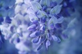 Picture flowers, bunch, lilac, Wisteria