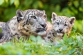 Picture look, care, baby, snow leopard, kitty, child, wild cats, zoo, greens, cub, cats, Barca, grass, ...