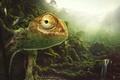 Picture animal, chameleon, chameleon, desktopography, nature