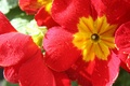 Picture Primula red, nature, colorful, flower