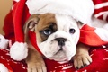 Picture dog, look, English bulldog, muzzle, puppy, cap