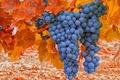 Picture autumn, grapes, bunch