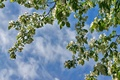 Picture Apple, the sky, branches, spring