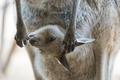 Picture kangaroo, bag, cub, paws