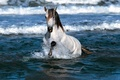 Picture SEA, HORSE, SURF, MANE, WHITE, WAVE, SQUIRT, FOAM