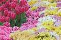 Picture flowers, spring, tulips, pink, a lot, chrysanthemum