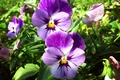 Picture grass, flowers, Wallpaper, Pansy