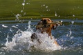 Picture face, squirt, movement, the game, dog, mouth, pond, stick, dog, (с) Oliver Seitz