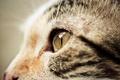 Picture cat, macro, muzzle, face, profile, cat