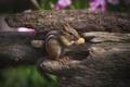 Picture walnut, Chipmunk, rodent, peanuts