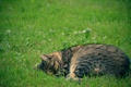 Picture cat, sleep, stay, greens, grass, peace, cat
